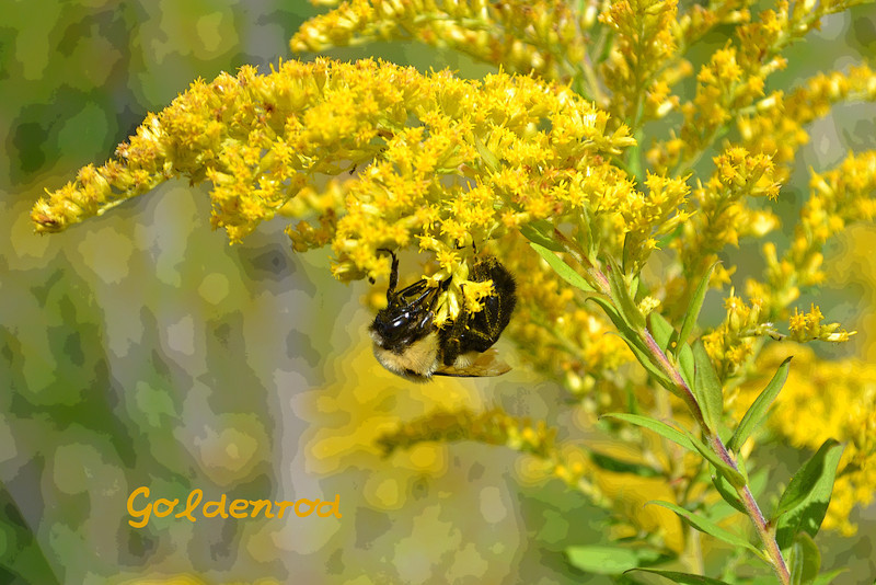 Goldenrod picture with text
