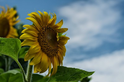 Sunflower against the sky with detail