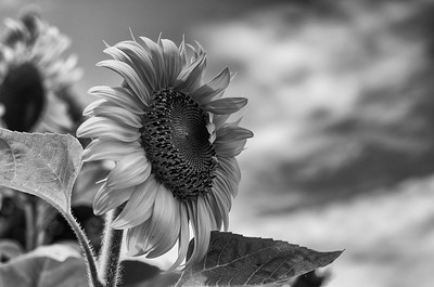 Sunflower against the sky in black & white