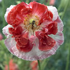 Hover Fly on Poppy