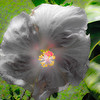 Hibiscus photographed on Kauai, HI. I increased the saturation just a touch and softened the image a bit to give it a glow, but this is the flowers true coloration. I think this is one of the coolest flowers I've had the opportunity to photograph...