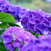 Home Garden Hydrangea's<br /> <br /> Daily Photos  -  August 3, 2011