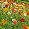 Daily Photos  -  May 25, 2012<br /> <br /> <br /> Hillside covered in Iceland poppies (Papaver nudicaule 'Champagne Bubbles Mixed')