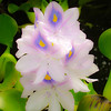 Glowing Water Hyacinth. Common Water Hyacinth Flower (Eichhornia Crassipes) photographed in Maui, Hawaii.