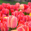 May 9, 2011  -  Tulip explosion! <br /> <br /> Took this at the Chicago Botanic Gardens this weekend. There were so many gorgeous flowers, I didn't know where to start... <br /> I hope everyone had a great Mother's Day!!!