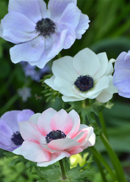 "Daily Photos  -  May 24, 2012<br /> <br /> Mona Lisa™ Bicolor Blue Shades poppy anemone (Anemone coronaria 'PAS1851')<br /> <br /> <br /> Photograph taken in the ""Vista Garden"" at the Chicago Botanic Garden"