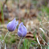 Signs of spring... Wild Crocus photographed at the International Crane Foundation in WI.