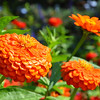 Orange Zinnia Elegans Benary's Giant<br /> <br /> Daily Photos  -  September 29, 2011