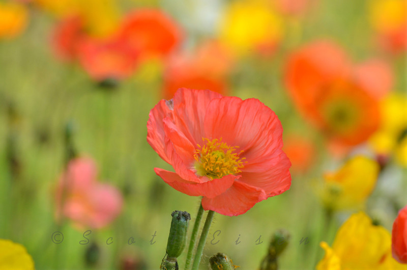 Daily Photos  -  May 23, 2012<br /> <br /> Iceland poppies (Papaver nudicaule 'Champagne Bubbles Mixed')