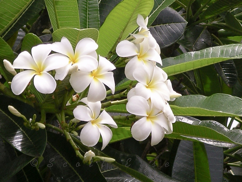 Plumeria Acuminata Kalachuchi Flower. Photographed in Kauai, Hawaii