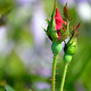 Rosebud<br /> <br /> Daily Photos  -  September 7, 2011