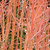 Bright Red Branches against Evergreen. Photographed at the Chicago Botanic Gardens.