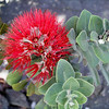 Ohia Lehua Flower. Photograph taken near a steam vent on the floor of the Kīlauea Iki (little Kīlauea) crater, Volcanoes National Park, Hawaii.