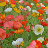 Daily Photos - June 10th<br /> <br /> Iceland poppies