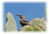 A cactus wren.  It was photographed at the Boyce Thompson Arboretum near Globe, AZ; the detail of the bird is best viewed in a larger size.