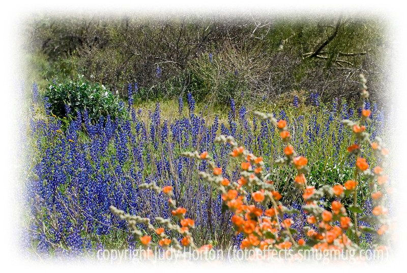 These indigo lupines are blooming in the desert in the company of orange desert mallows; photographed between Globe and Mesa, AZ in early March.