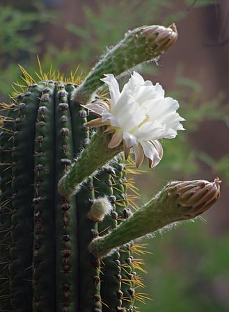 Boyce Thompson Arboretum State Park, Arizona