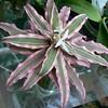 Cryptanthus bivittatus 'El Ray'