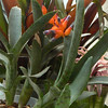 Neoregelia ampullacea in S/H<br /> species native to shaded coastal rocks in Brazil