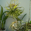 Up from bottom right, Tillandsia  jucunda, mitlaensis, Victoria, ionata v. ionata