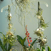Clockwise, 12 Tillandsia butzii, aeranthos, kolbii, ionantha v. vanhynigii <br /> xiphioides,  jucunda, mitlaensis, Victoria, ionata v. ionata, albertiana