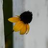 Flower Peeks Through Fence