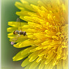 Dandy Hoverfly
