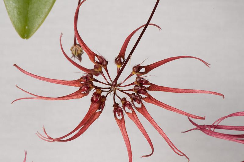 Bulbophyllum Sharese, JC/AOS