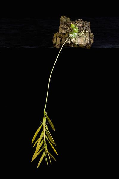 Bulbophyllum refractum 'Phillip and Alistair', HCC/AOS 79 pts.