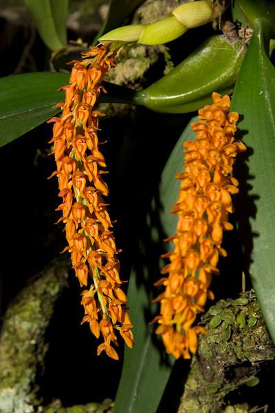 Bulbophyllum elassonotum 'Romelia' CCM/AOS, 80 pts.