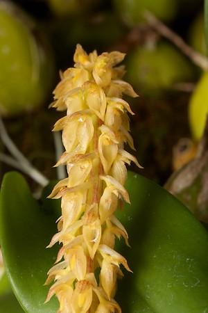 Bulbophyllum elassonotum, CCM/AOS 83 pts.