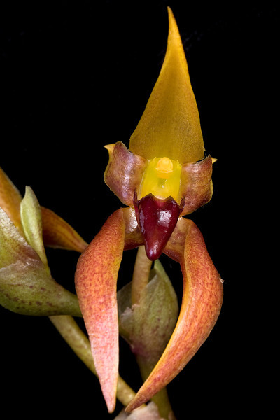 Bulbophyllum nymphopolitanum 'Robert' AM/AOS 82 pts.