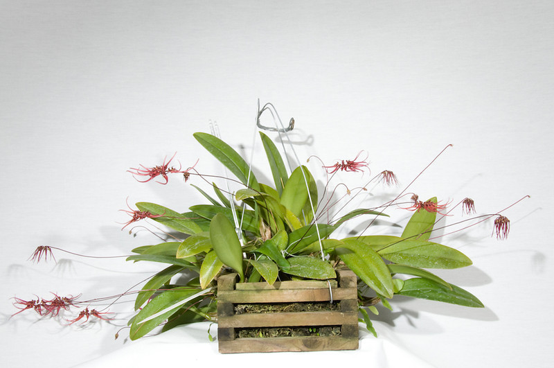 Bulbophyllum Sharese JC/AOS