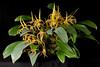 Bulbophyllum erythrostictum CCM/AOS 87 pts.