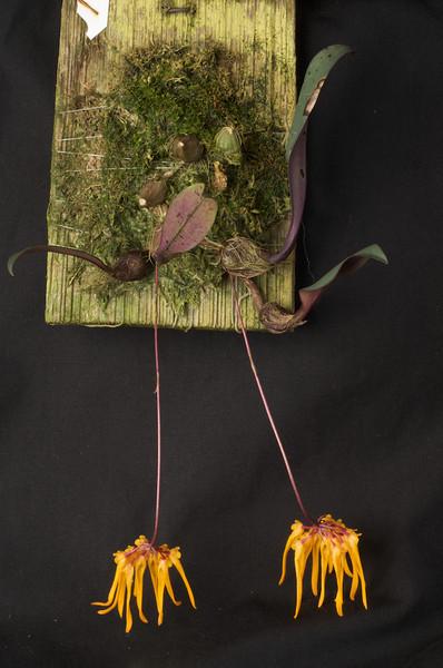 Bulbophyllum thaiorum AM/AOS 80 pts.
