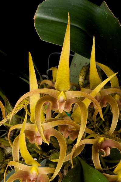 Bulbophyllum erythrostictum AM/AOS 83 pts.