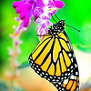"""""""First Flight"""". A Monarch butterfly, just born, only a few hours old, drying it's virgin wings as it sets up it's first flight."""