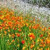 California poppies and wildflowers on hillside, lower Sierra Nevada foothills, CA.