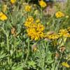 Chelidonium majus 'Flore Pleno'