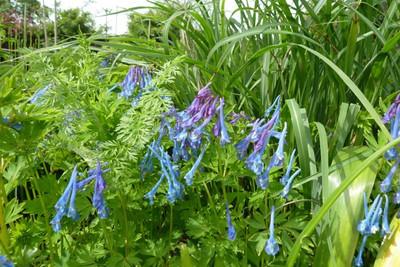 Corydalis flexuosa 'Craigton Blue'