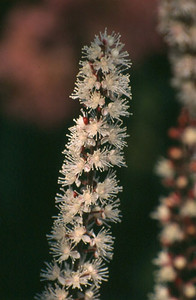 Cimicifuga ramosa 'Brunette'