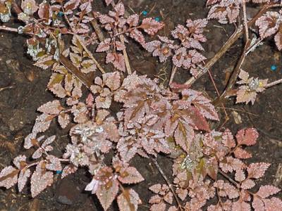 Corydalis quantmeyeriana
