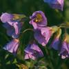 Cardamine quinquefolia