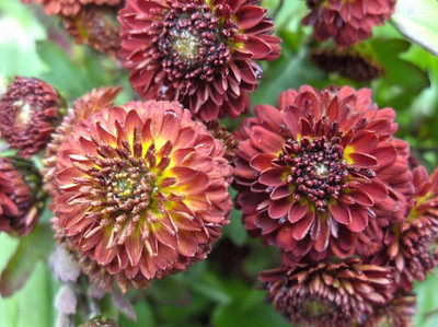 Chrysanthemum 'Konigssohn'