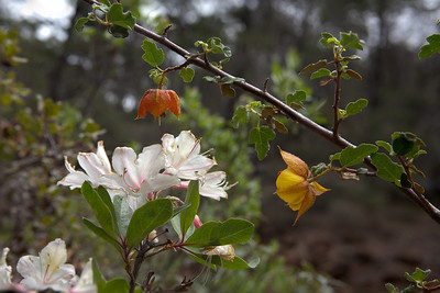 Azaleas, flannelbush and ladyslippers at The Cedars