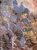 Prickly Pear<br /> Sedona AZ, Feb 2006
