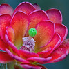Up close Claret Cup Cactus