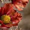 Cholla flower up close
