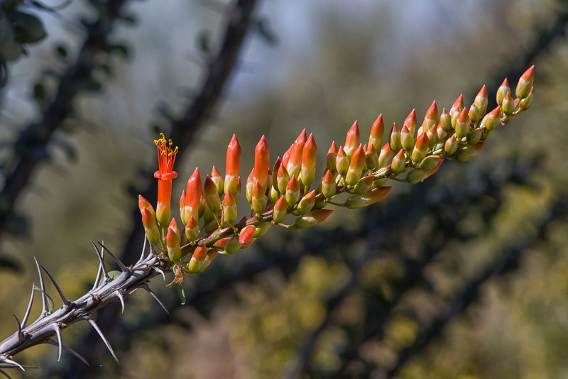 First bloom on ocotillo