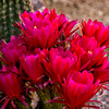 Torch cactus group